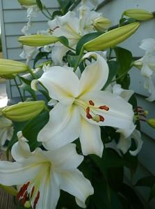 White Lilies - und wie die duften !