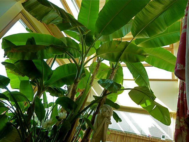 bananen wachsen auch bei uns sehr hm. Black Bedroom Furniture Sets. Home Design Ideas